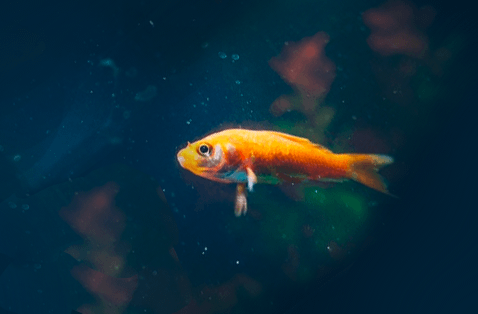 Image of a Webdeveloper Goldfish